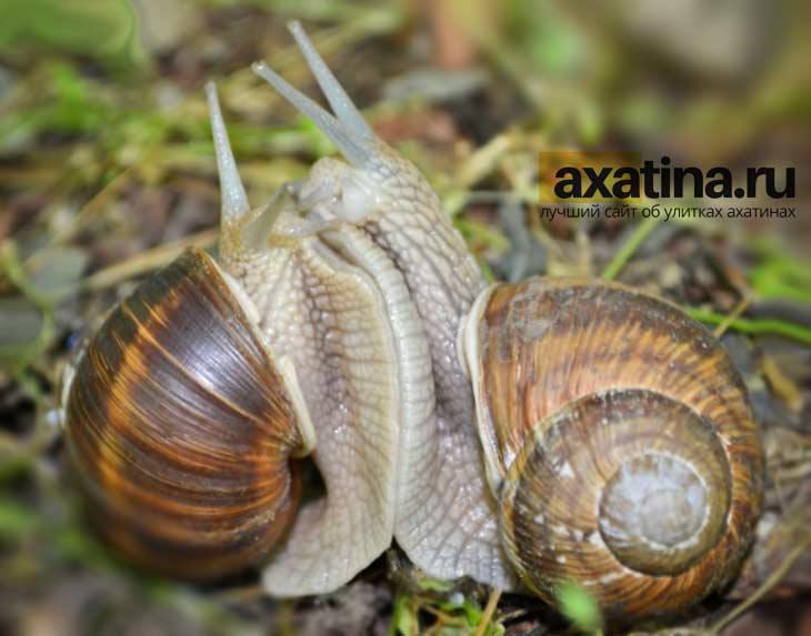 Размножение ахатин. CC0